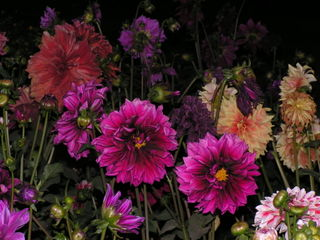 Dahlias_in_agra