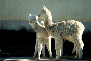 Llamasmp2
